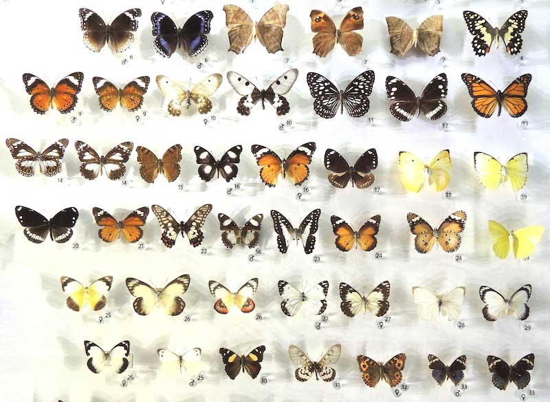 A collection of butterflies from the Northern Territory Museum, Darwin.